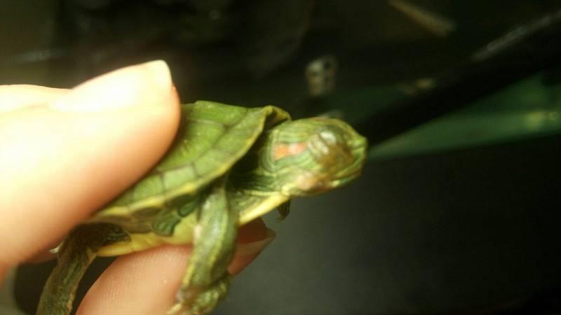 Красноухая черепаха: какой период времени обойдется без воды в домашних условиях?