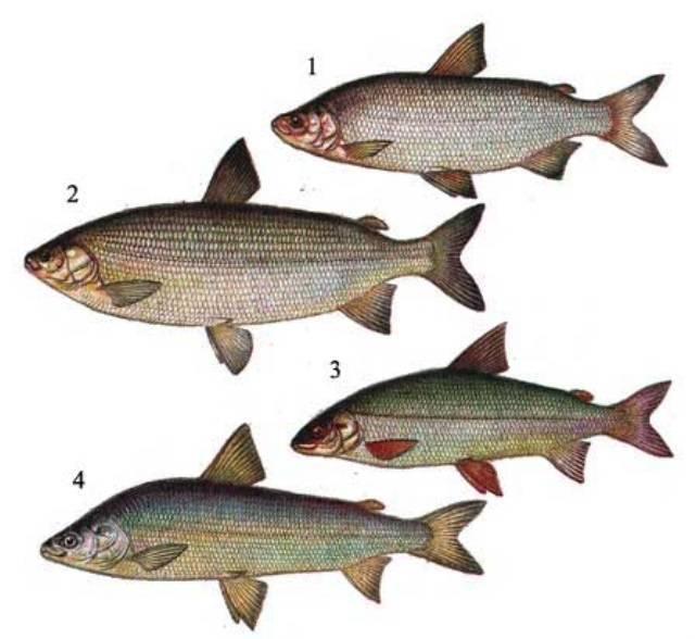 Рыбы семейства сиговых фото