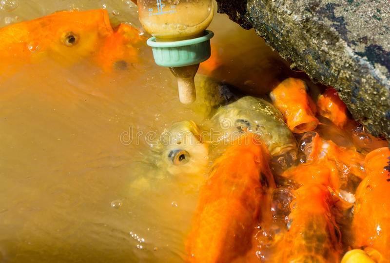 Рыба для пруда в саду: виды, какая лучшая, разведение, чем кормить, выращивание, особенности, уход