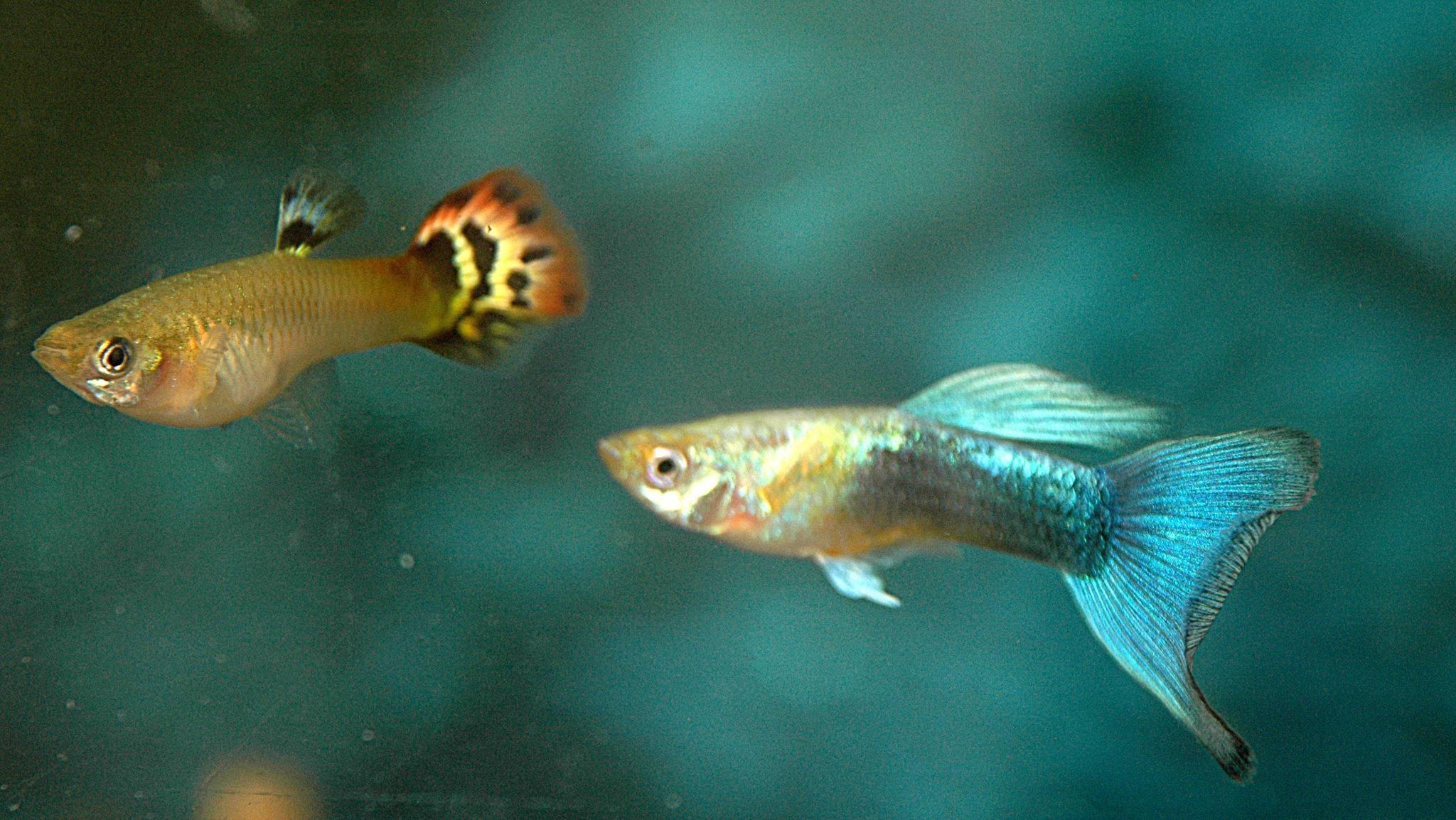 Рыбки Гуппи: особенности содержания и разведения