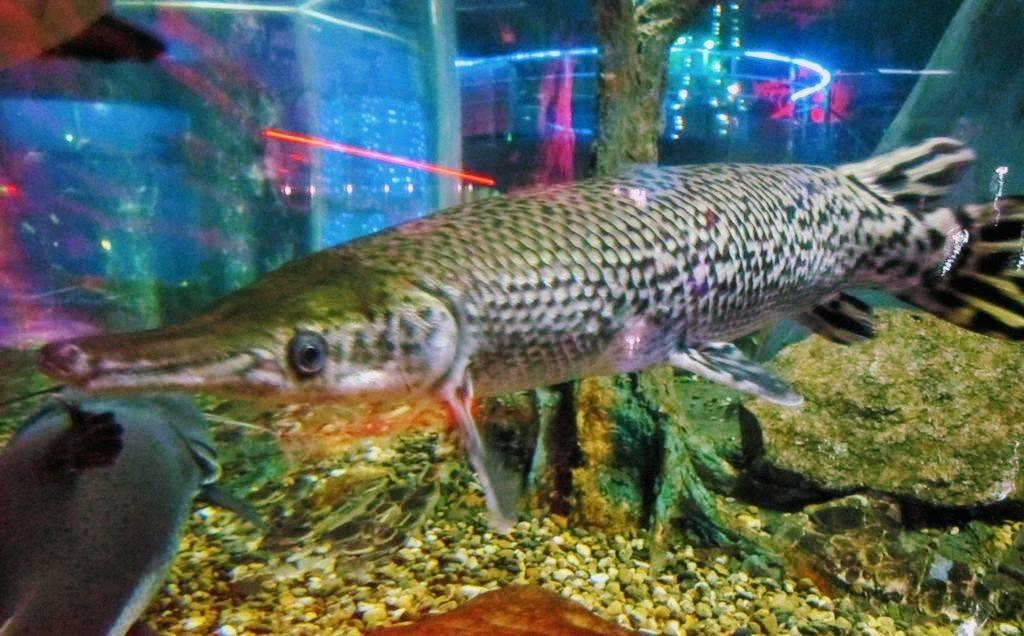 Панцирная щука – миссисипский панцирник – в аквариуме через 100 миллионов лет
