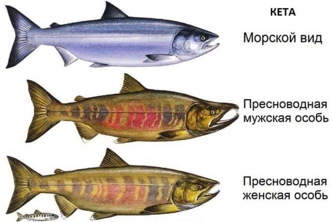 Рыба кета: калорийность, польза и вред для организма