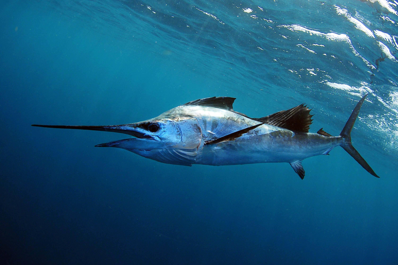 Какая рыба в океане плавает быстрее всех - other