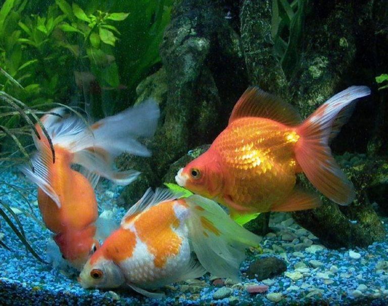 Аквариумная рыбка вуалехвост — уход и содержание