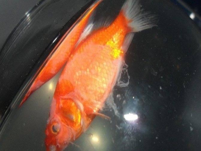 Умирают рыбки в аквариуме: почему дохнут (причины), что нужно делать, профилактика