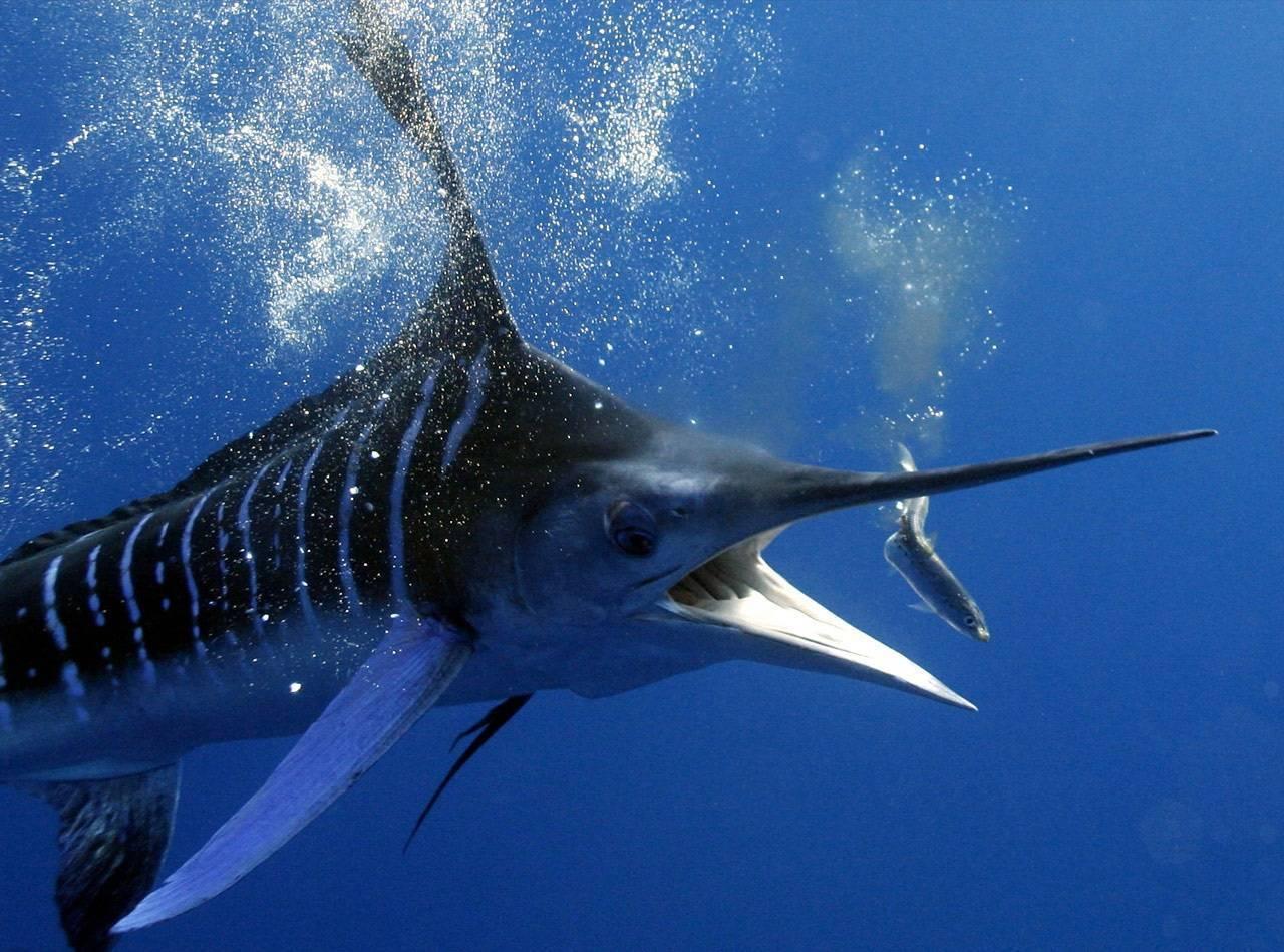 Ловля марлина: места и способы ловли голубой рыбы