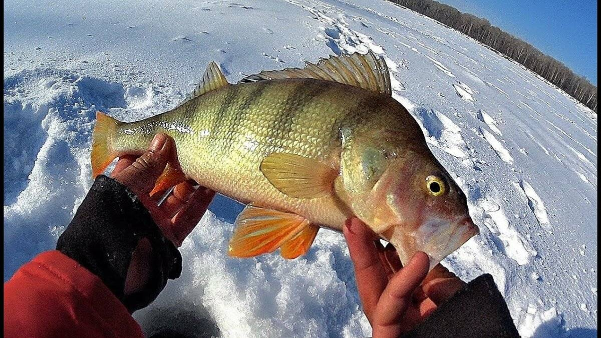 Ловля окуня в глухозимье: советы по эффективной рыбалке