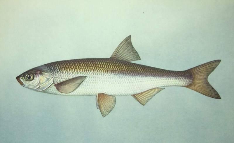 Шамайка - царская рыба: места обитания, ловля, отзывы