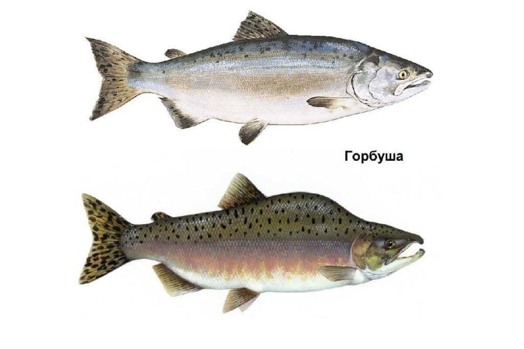Какая форель лучше крупная или мелкая - рыбалка