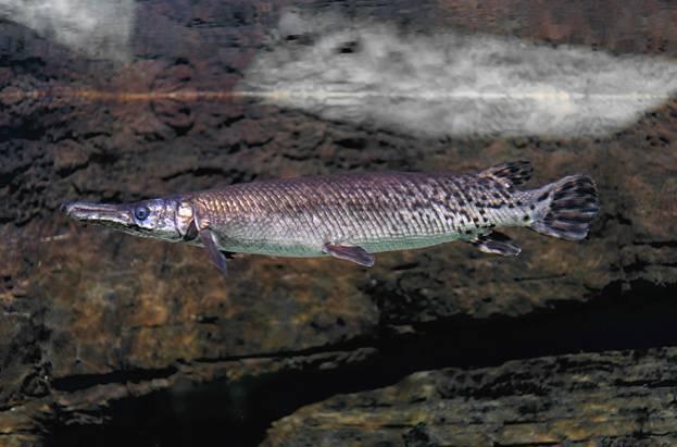 Панцирная (аллигаторова) щука: что за рыба, где обитает, внешний вид с фото
