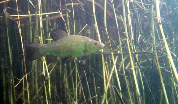Линь рыба: где обитает и чем питается линь, самый крупный линь