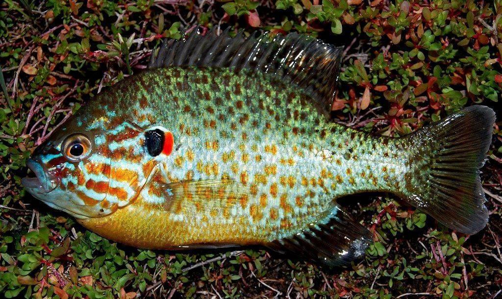 Радужный или солнечный окунь: рыбалка и фото, можно ли есть, рекомендации по содержанию в аквариуме