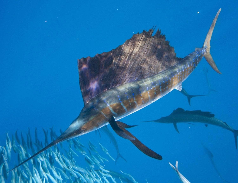 Топ 6 самых быстрых в мире рыб