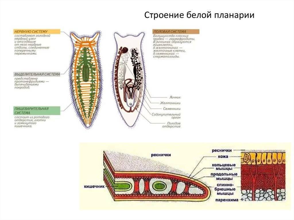 Белая планария - паразит или нет: что такое планария молочная
