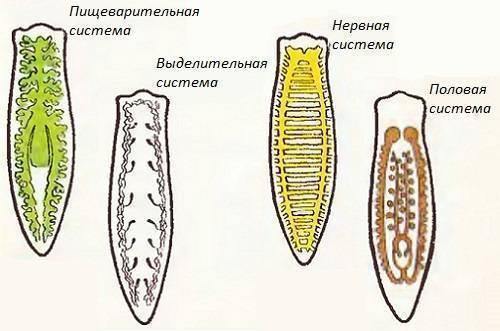Планария пресноводная: особенности, питание, размножение