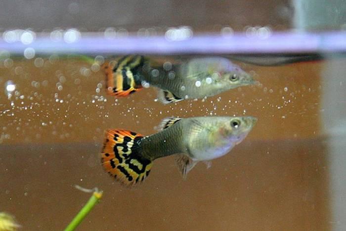 Почему умирают рыбки дома в аквариуме