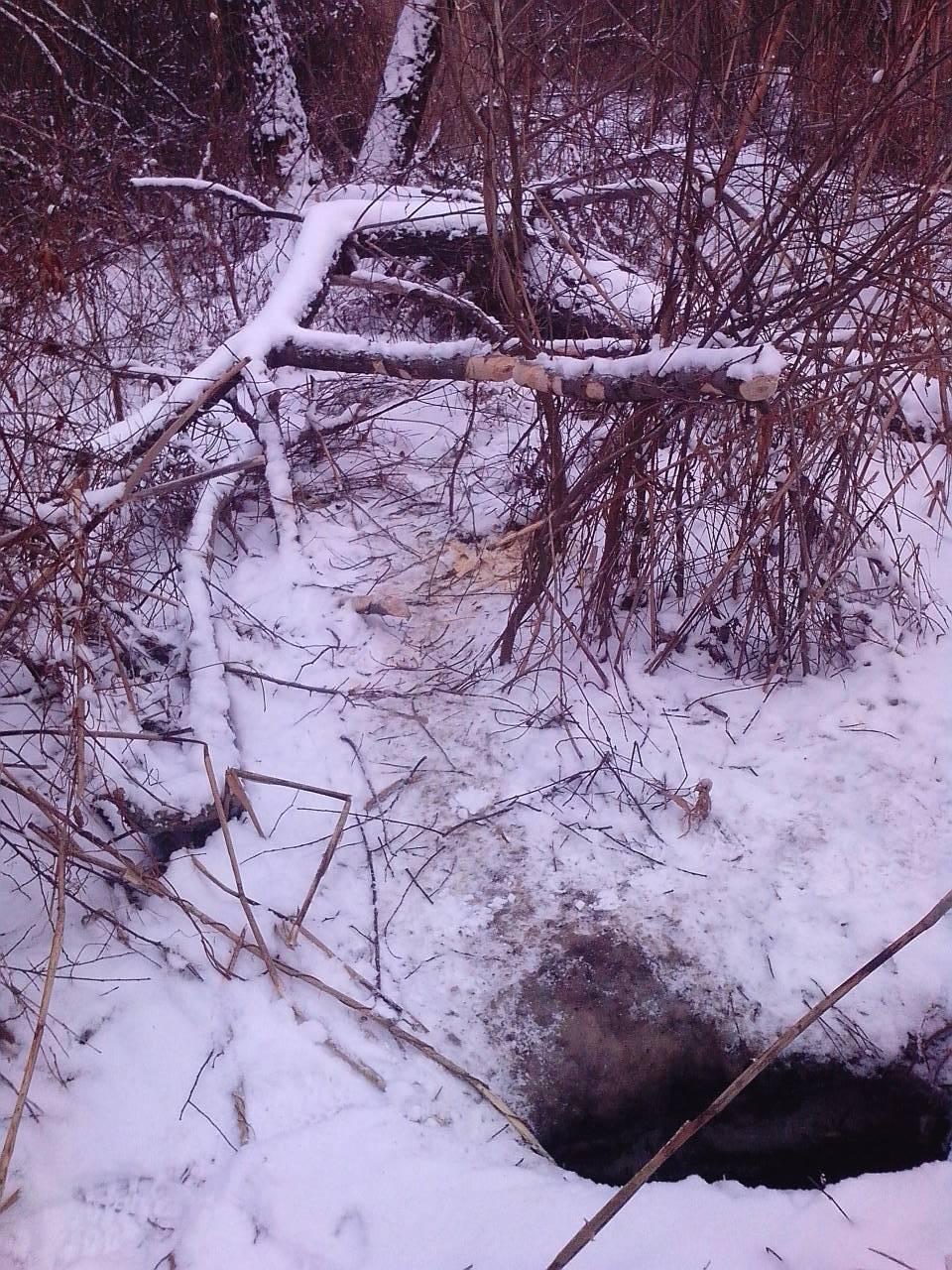 Охота на бобра зимой: с ружьем, капканами, петлями