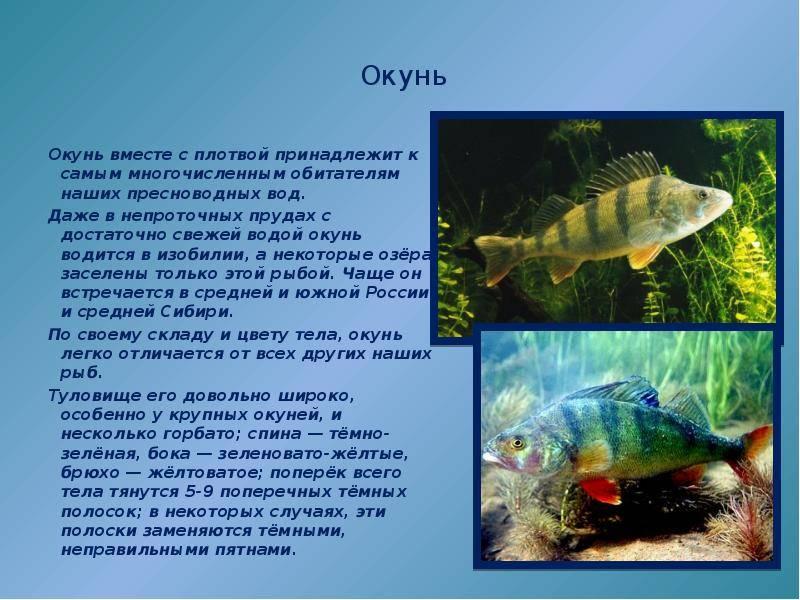 Морской окунь польза и вред для организма, исследование полезных свойств