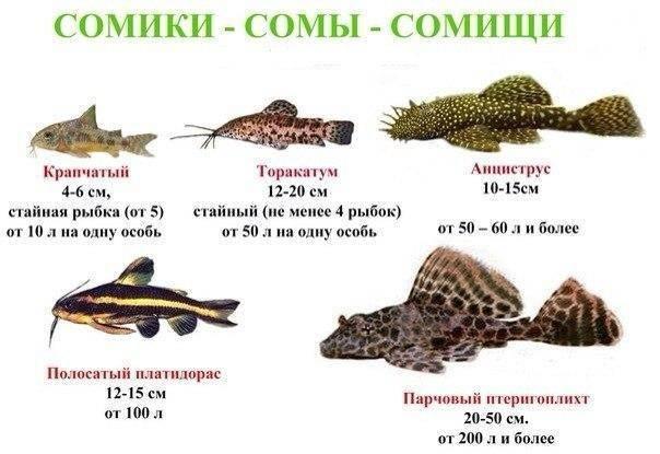 Таракатум сом. образ жизни и среда обитания сома таракатума | животный мир