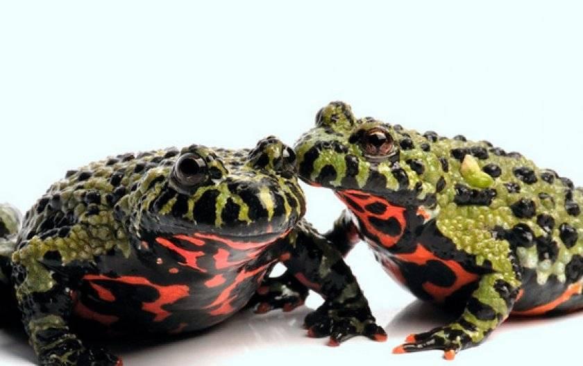 Лягушка травяная, озерная, остромордая: содержание лягушки в неволе, уход за лягушкой, чем кормить лягушку, купить лягушку, аква-террариум, террариум-луг для лягушки  rana temporaria, rana ridibunda и rana arvalis на сайте любимчики.ру