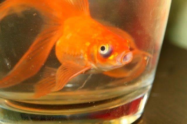 Соседи для золотой рыбки