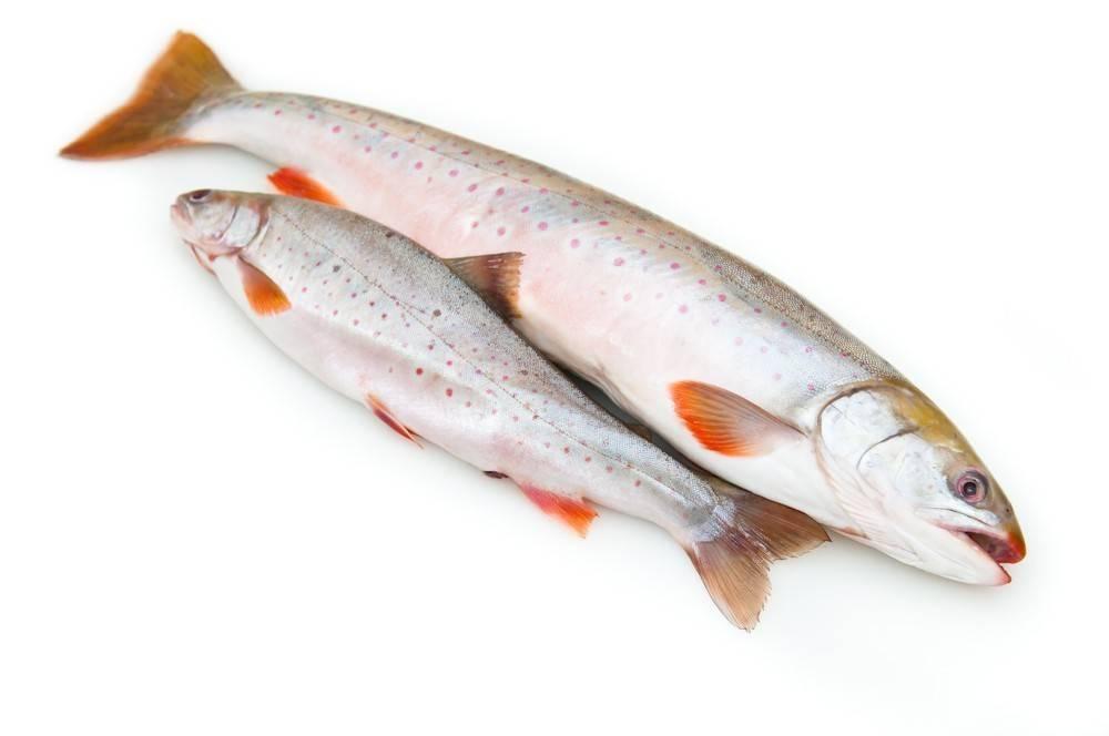 Голец — польза и вред мяса, икры и печени, чем лучше другой красной рыбы