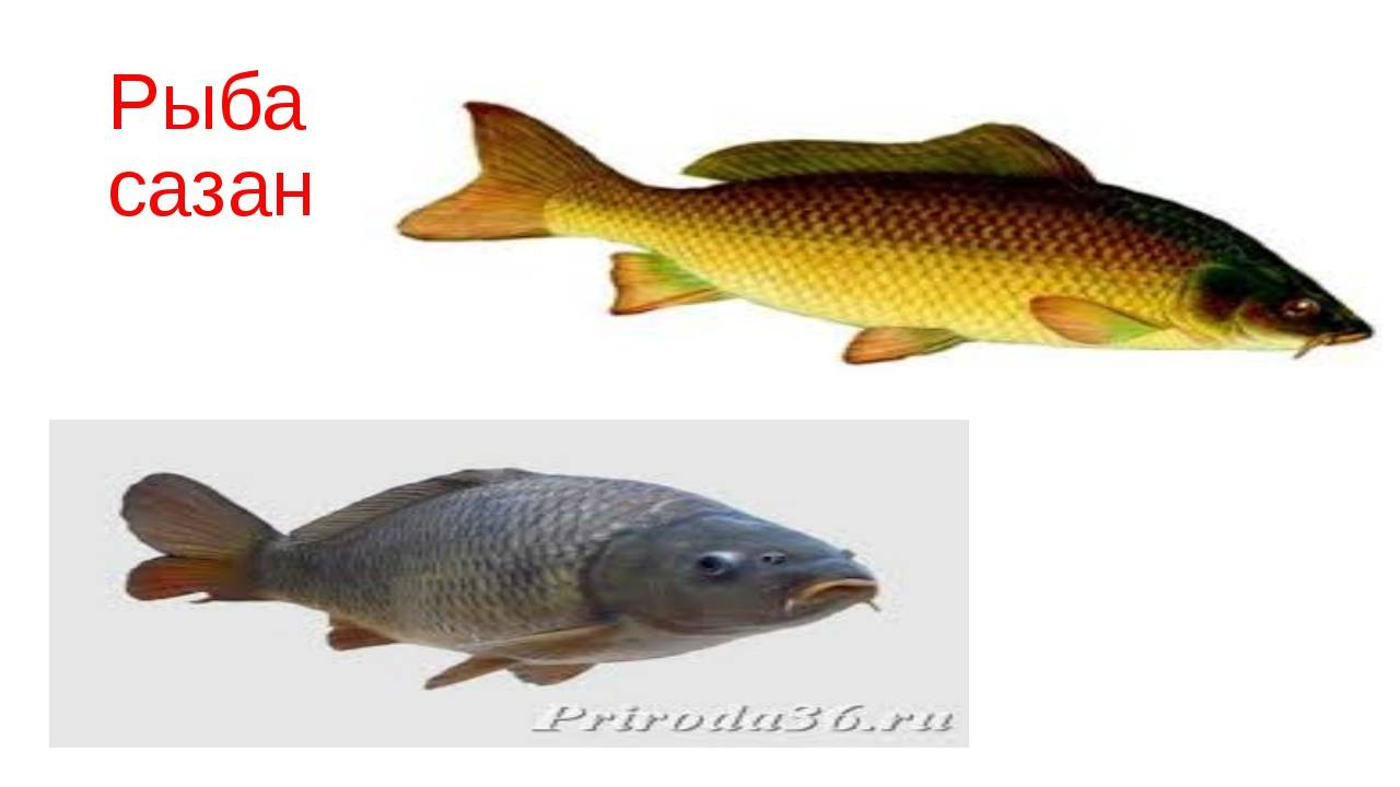 Ловля сазана на реке: наживка, перспективные места, снасти - рыбколов!