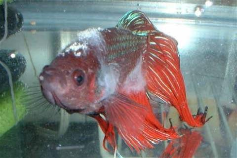 Лечение бактериальных заболеваний аквариумных рыб