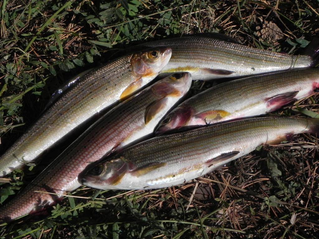 Описание рыбы хариус