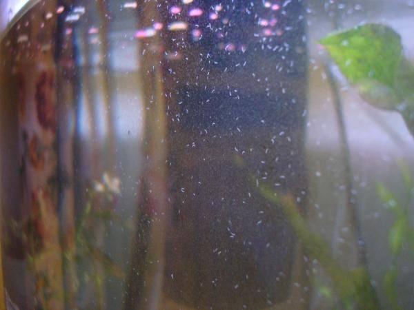 В аквариуме появились маленькие белые червячки на стекле аквариума