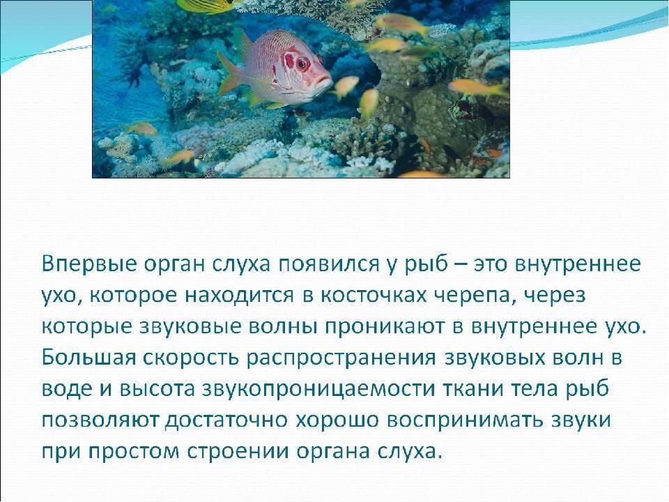 Какой слух у рыб? и как работает орган слуха?