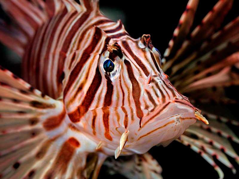 Рыба-шар: содержание и совместимость тетраодона в аквариуме