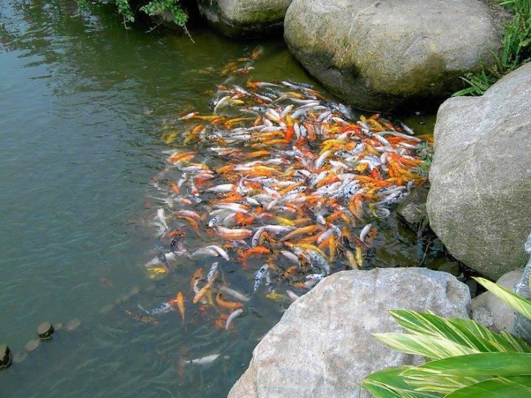 Рыбки для пруда на даче: как выбрать и ухаживать за живыми рыбками в маленьком декоративном пруду своими руками, подробно про золотых рыбок, фото - morevdome.com