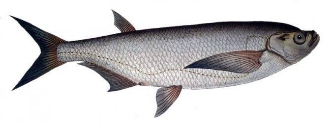 Настоящая рыба-еж: описание для детей и интересные факты