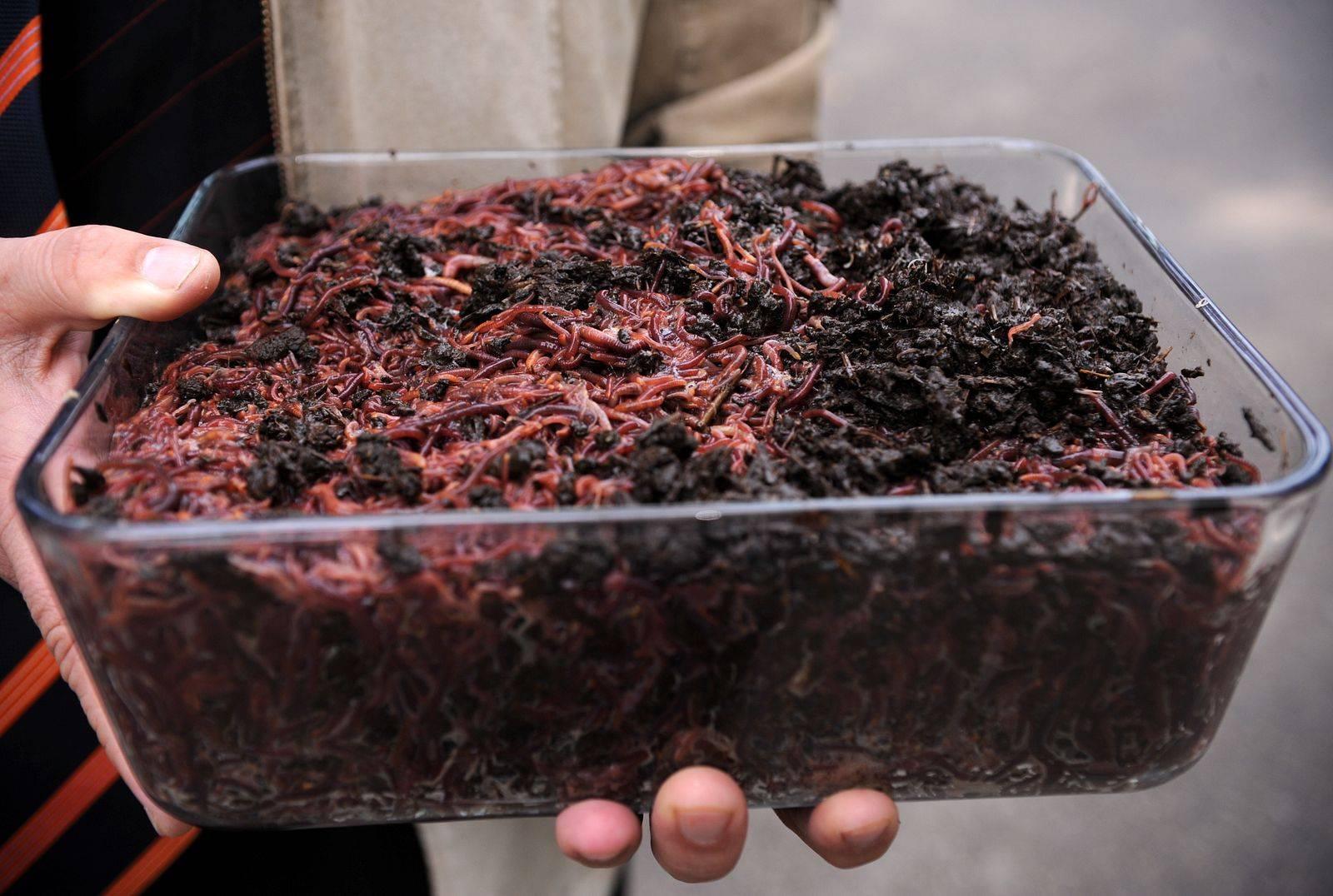 Как разводить червей в домашних условиях ? черви в домашних условиях ? разведение
