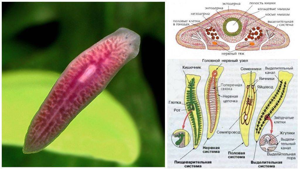 Планария - особенности строения и жизнедеятельности пресноводного паразита, методы борьбы с ним