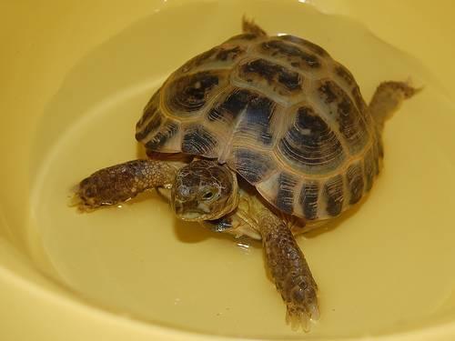 Уход и содержание красноухой черепахи в домашних условиях, чем кормить