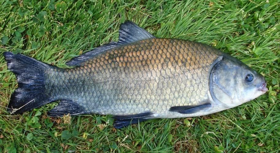 Карась буффало фото — ловись рыбка