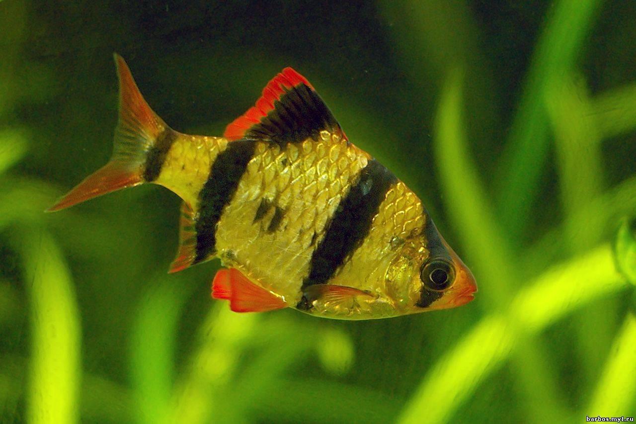 Виды барбусов с фото, описанием и названием к каждой разновидности этой рыбки: вуалевый, клоун, альбинос, пятиполосый и другие