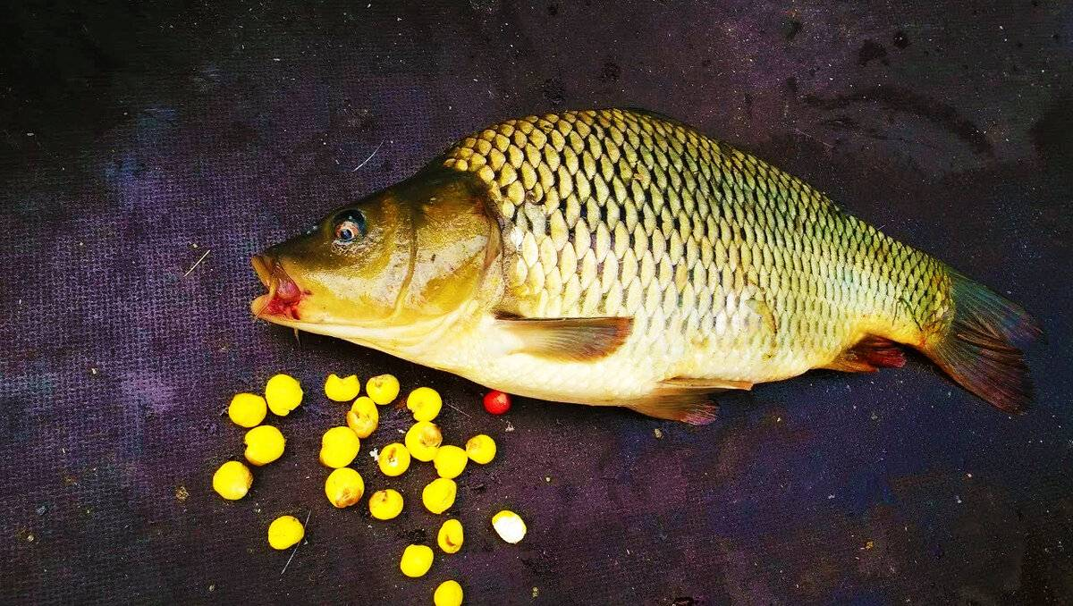 Кукуруза для рыбалки: способы приготовления и применения кукуруза для рыбалки: способы приготовления и применения