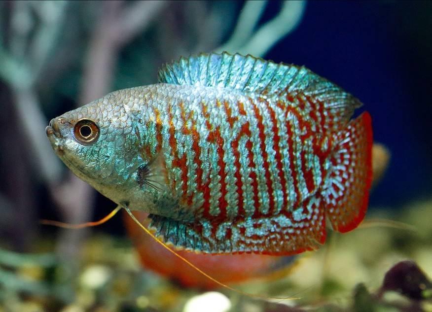 Лялиус ? уход и содержание аквариумной рыбки, фото, совместимость с другими рыбами, разведение красных, неоновых лялиусов, родина рыбки