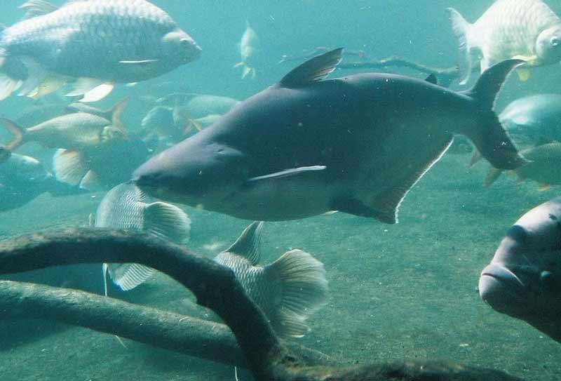 Рыба пангасиус: польза и вред