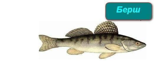 Берш: описание рыбы, отличие от судака, места обитания и нерест