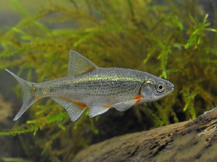 Речная рыба гольян в домашнем аквариуме