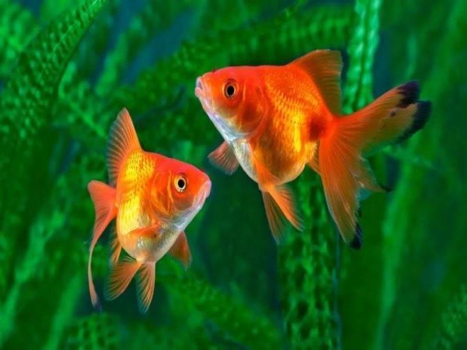 Рыбка петушок: уход и содержание, фото и совместимость с другими рыбками