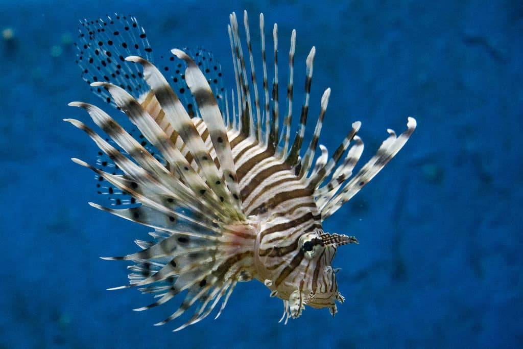 Рыба псевдотрофеус зебра: фото голубой и красной цихлиды