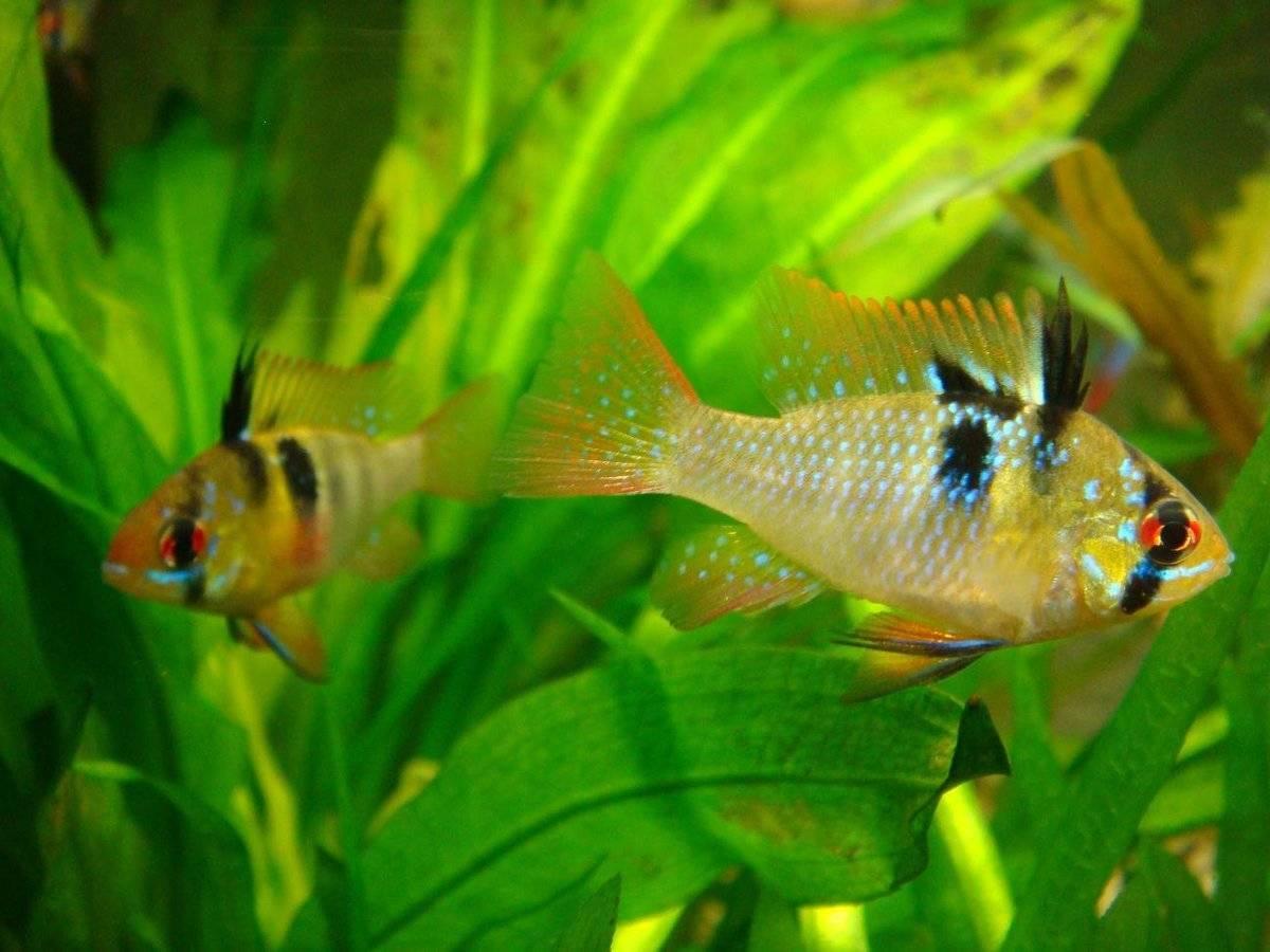 Апистограмма рамирези (23 фото): содержание рыбок хромис-бабочка, разведение аквариумной рыбы из семейства цихлиды, совместимость с другими рыбами