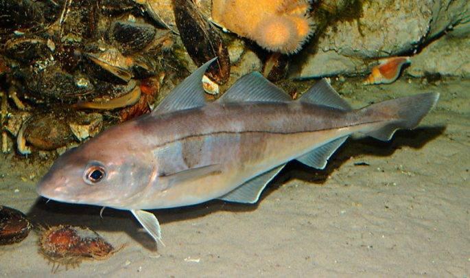Пикша – ценная промысловая морская рыба семейства тресковых