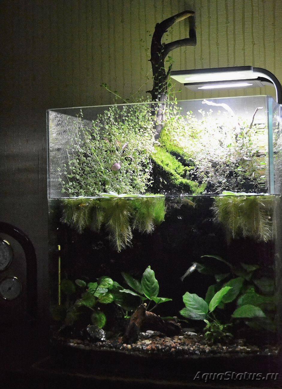 Аквариумы для петушков (20 фото): обзор моделей с подсветкой и фильтром, двойных и тройных аквариумов с перегородками, объемы и размеры