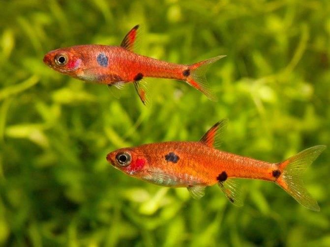 Обитание, описание и повадки рыбы расборы клинопятнистой в домашних условиях